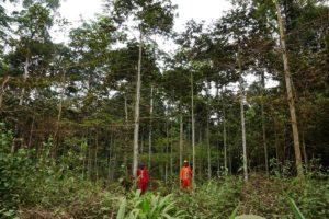 Plantation d'ayous de 4 ans
