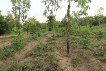 Système taungya du site de démonstration agroforestier Campus Vert